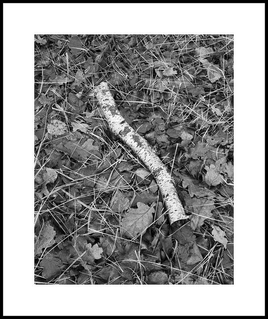 'Birch #3'