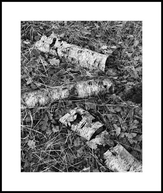 'Birch #4'