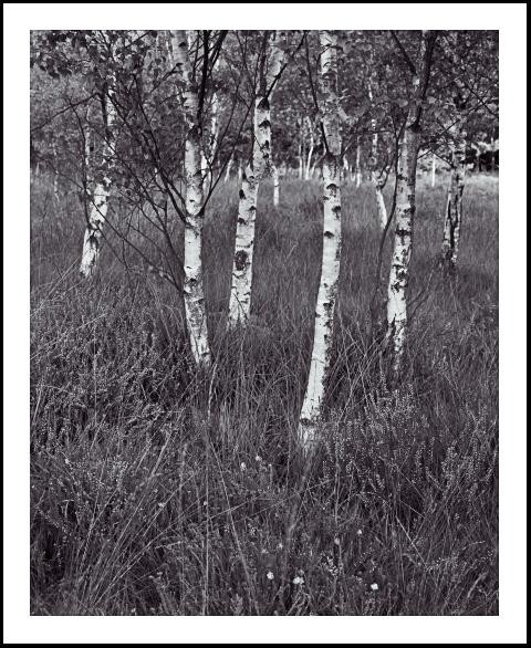 'Birch Trees at Skipwith'