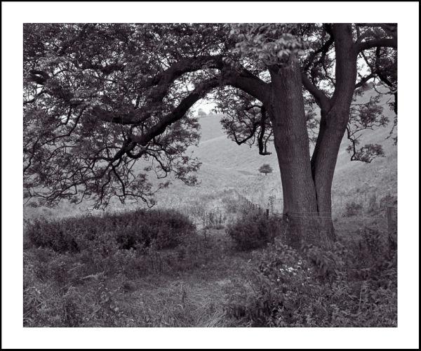 'Huggate Tree'