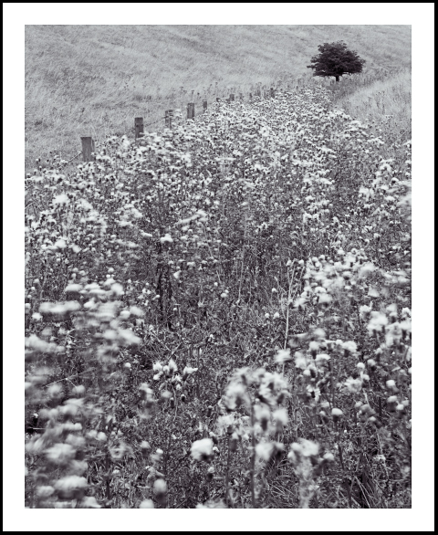'Wolds Thistles'