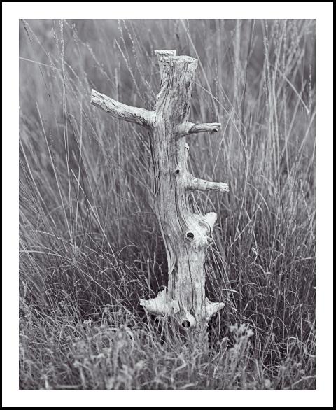 'Skipwith Stump'