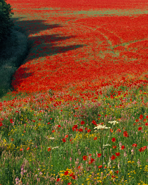'A Poppy Field in the Wolds'