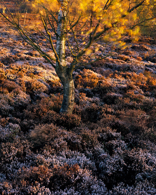 'Frosted Heather and Tree'