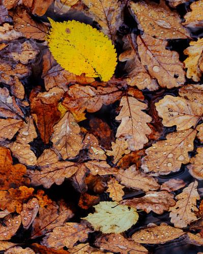 'Wet Pool of Leaves'