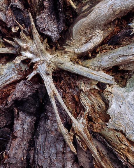 'Skipwith Root'