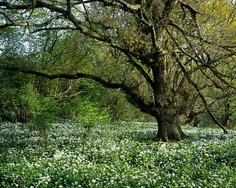'Oak Tree in the Wolds'