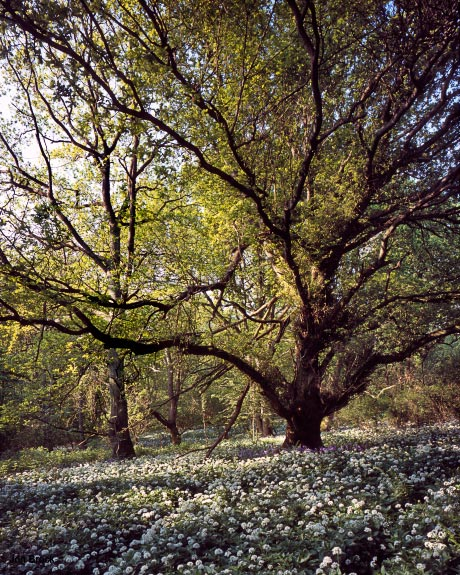 'Oak in Spring'