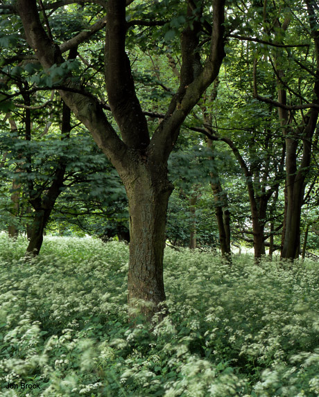 'Parsley in the Woods'
