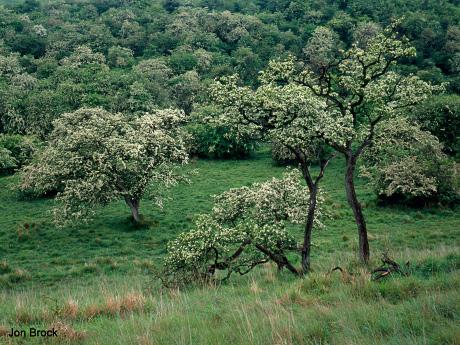 'Hawthorn Trees'
