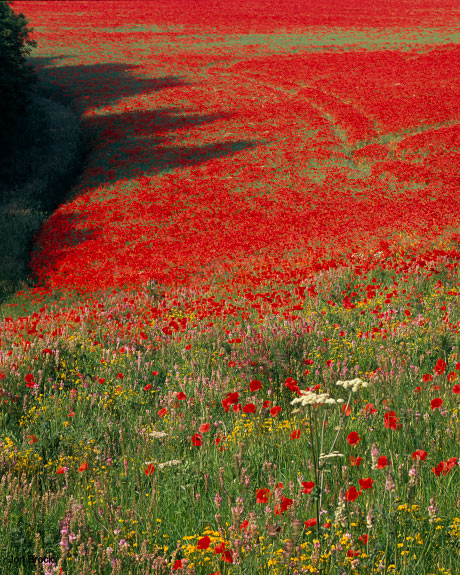 'A Poppy Field in the Wolds'