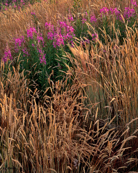 'Fireweed and Grass'