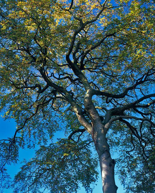 'Bishop Wilton Tree'