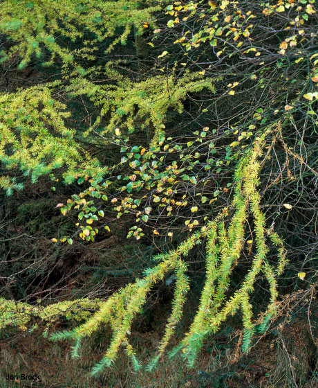 'Larch in Transition'