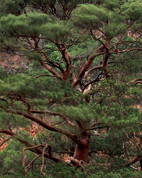 'Nevis Pine Trees'