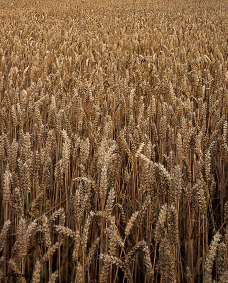 'Corn Field'