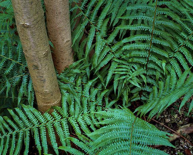 R0520v fern2treeb 11-copy