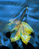 'Leaf and Water'
