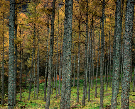 'Larch Trees in the Lakes'