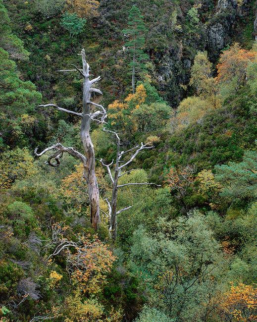 RL0010-Knarled-Tree-07 p-copy