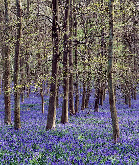 'Bluebells at Ashridge Forest'