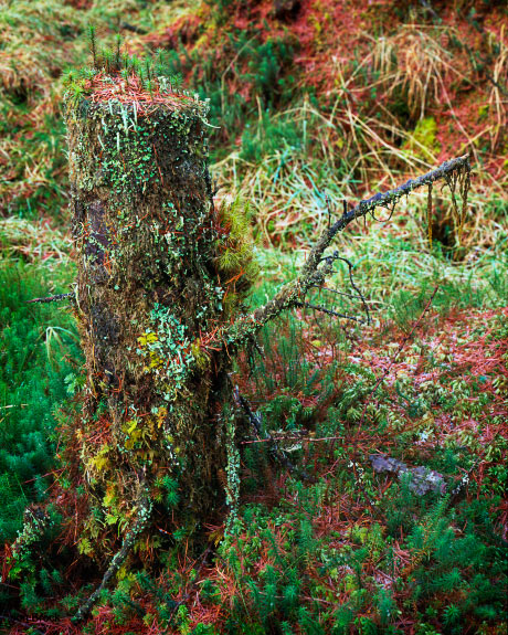 'Mossy Tree Stump'
