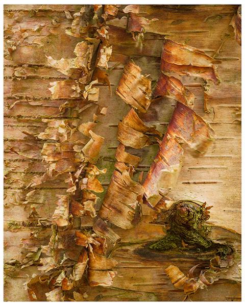 'Birch Tree'
