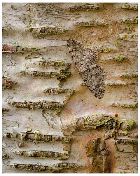 'Silver Birch Bark'