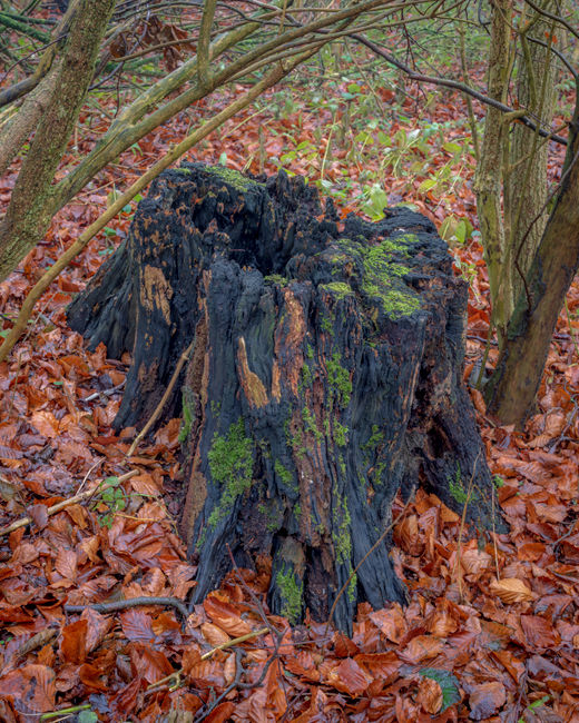 'Wolds tree stump'