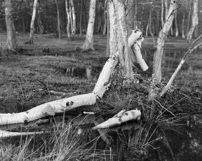 'Birch log study'