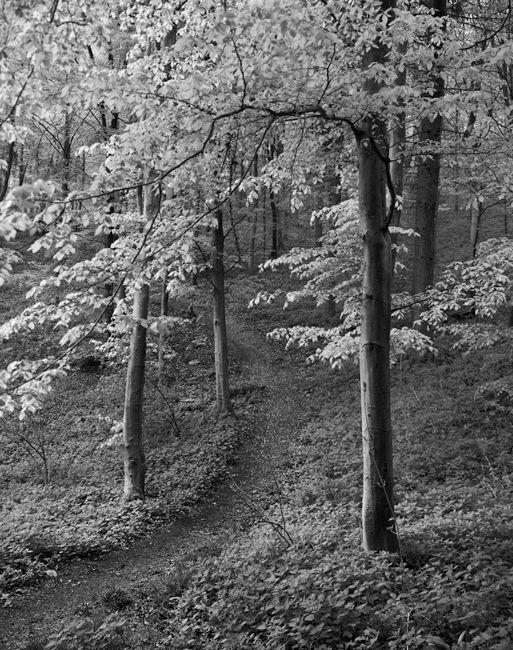 'Millington woods in spring