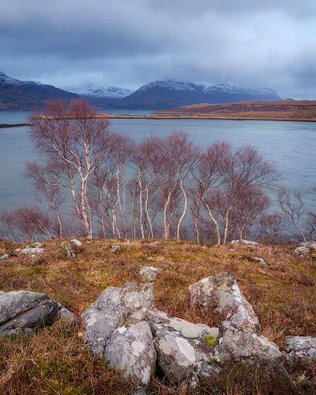 'Birch trees on Loch Torridon'