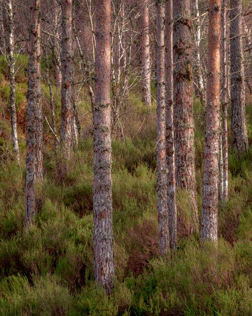 'Pine trees'