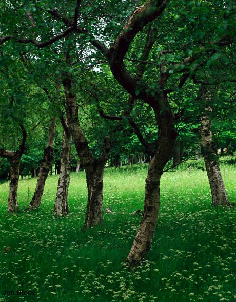 'Millington Birch Trees'