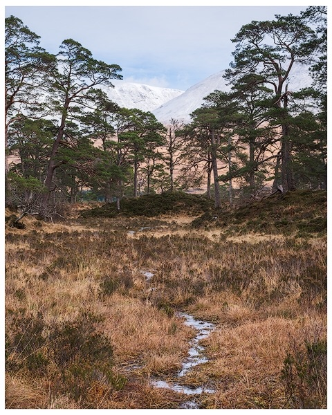 Pine Trees at Loch Tulla