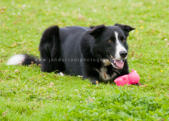 Badger Border Collie
