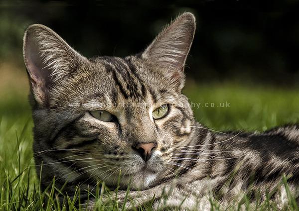 Bengali Cat
