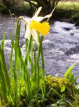 Lone Daffodil