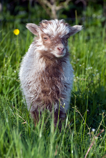 North Ronaldsay Ram Lamb