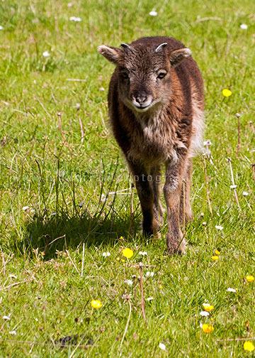 North Ronaldsay Ewe Lamb