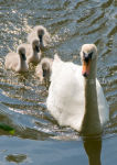 Swan & Family