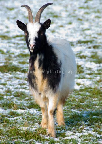 Bagot Goat