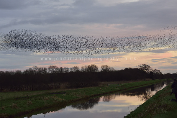 Starlings at Shapwick