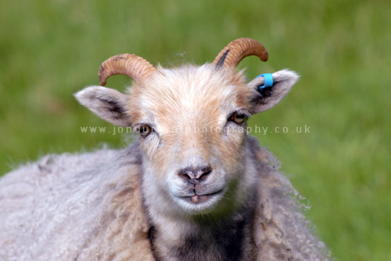 North Ronaldsay Ewe