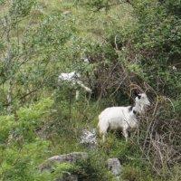 Cheddar goats