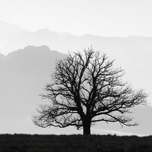 Solitary Oak Tree, Ullswater
