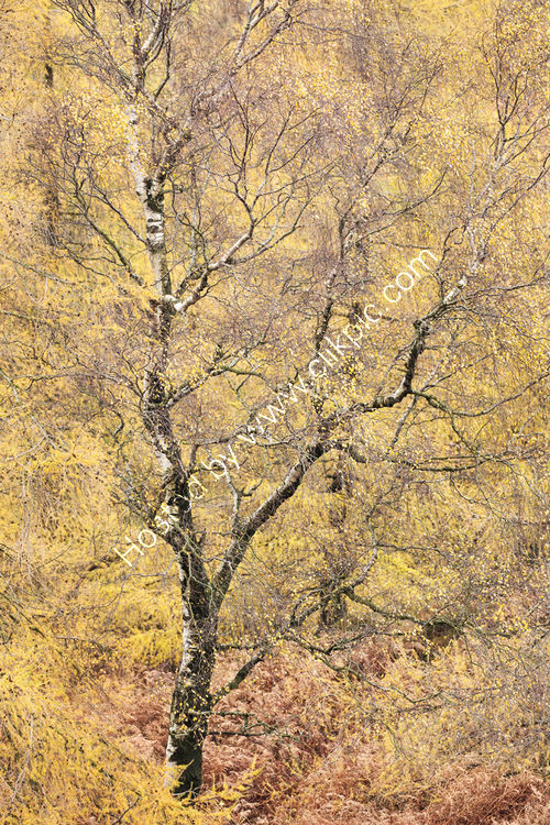 Autumnal Tree Holme Fell