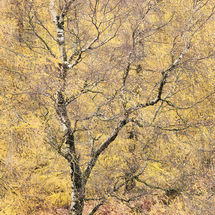 Autumnal Tree Holme Fell