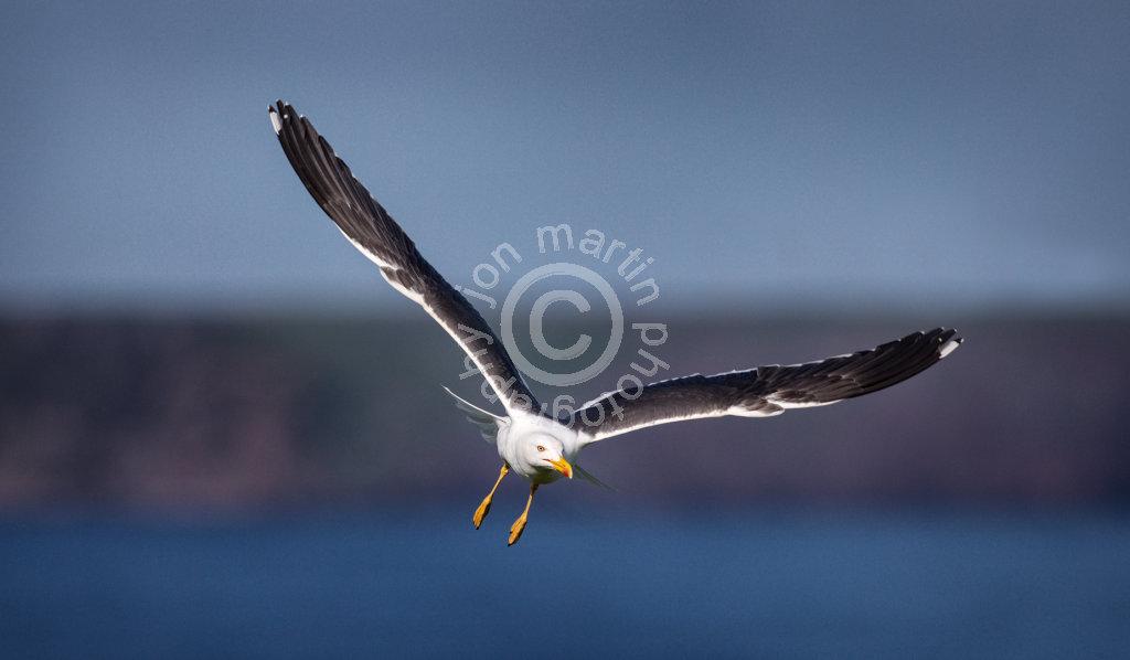 Black Backed Gull in Flight