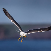 Black Backed Gull in Flight